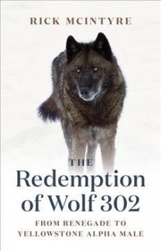 Redemption of Wolf 302: From Renegade to Yellowstone Alpha Male