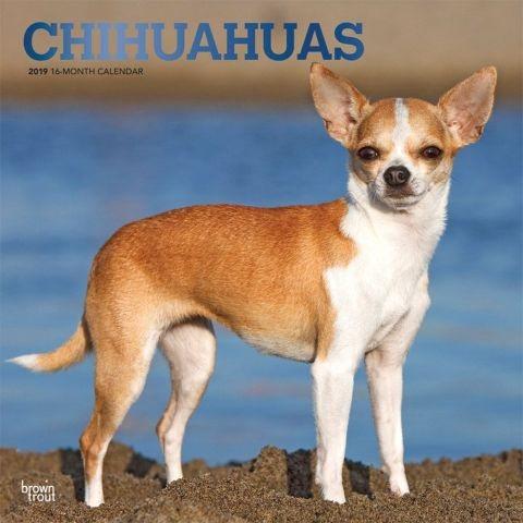 Chihuahuas 2019 Calendar(Wall)